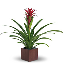 Teleflora's Bromeliad Beauty from Schultz Florists, flower delivery in Chicago