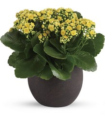 Kalanchoe Plant from Schultz Florists, flower delivery in Chicago